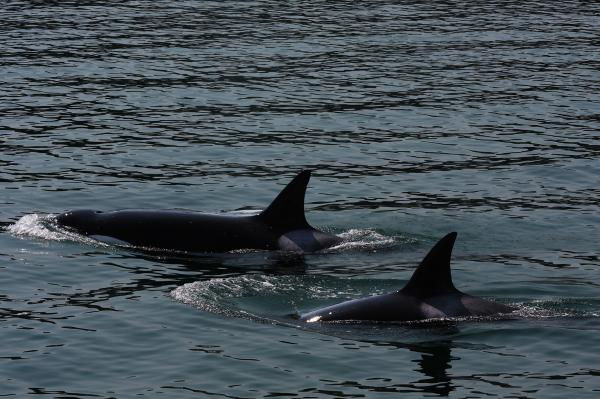 Experts say that breaching dams on the Snake River to increase the salmon population will help the declining Puget Sound orca population. Photo by Rennett Stowe