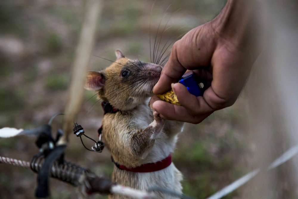 As part of their training the rats are given banana as a reward once a positive indication has been made. Every rat has to clear an area of 200 meters in less than 20 minutes, cannot miss any of the mines and can only give two false positive indications.