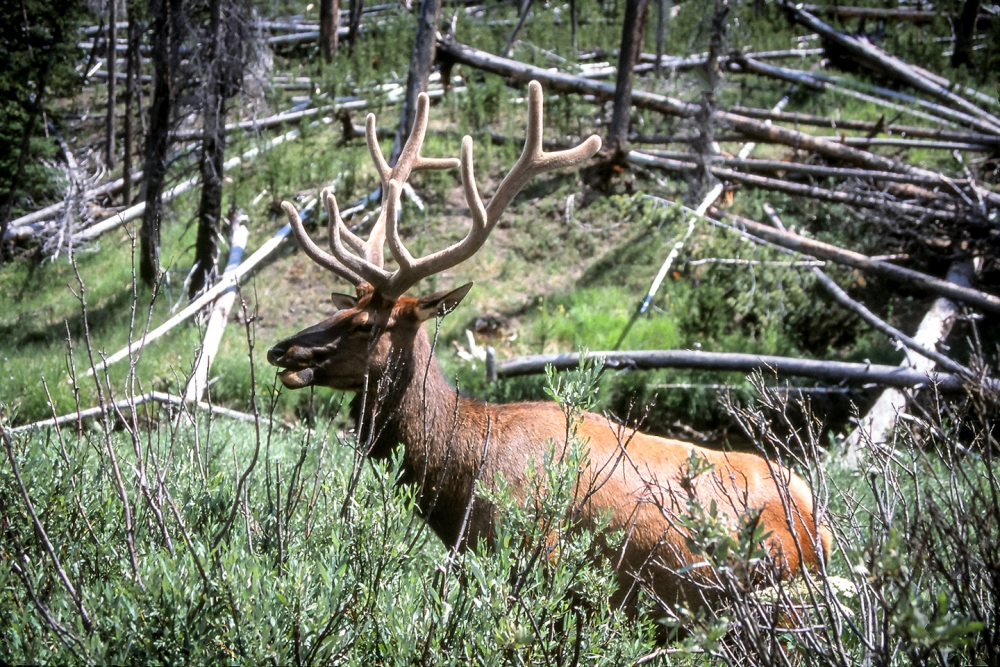 A bull elk with velvet antlers. Photo by Bryant Carlin